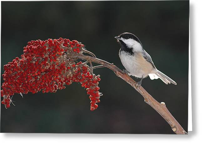 Black-capped Chickadee Greeting Card by Raju Alagawadi