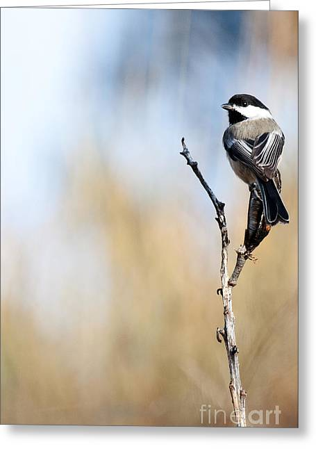 Black-capped Chickadee Greeting Card by Shevin Childers