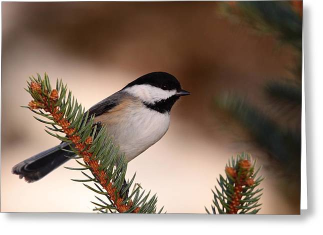 Black-capped Cickadee II Greeting Card