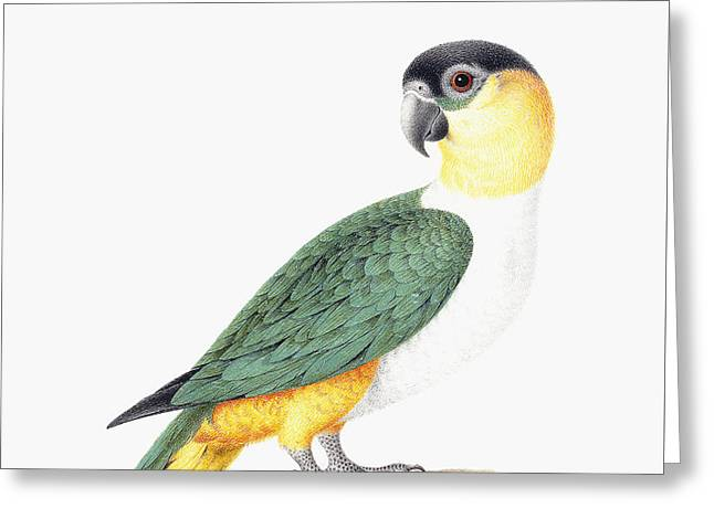 Black Capped Parrot Greeting Card