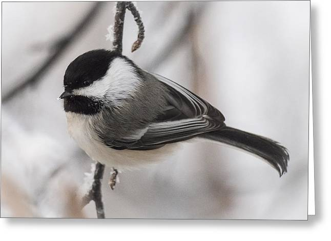 Black-capped Portait Greeting Card