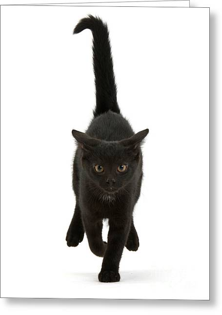 Black Cat On The Run Greeting Card