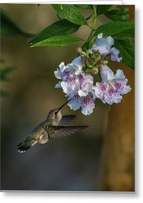 Black-chinned Hummingbird Greeting Card