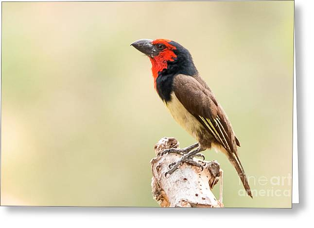Black-collared Barbet -   Barbican A Collier - Lybius Torquatus Greeting Card by Nature and Wildlife Photography
