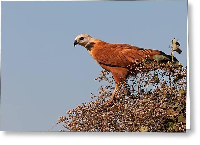 Black-collared Hawk, Pantanal Greeting Card