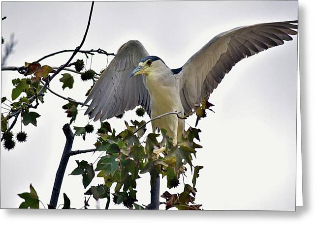 Black Crowned Night Heron 1 Greeting Card