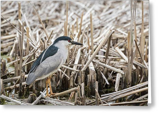 Black-crowned Night Heron 2017-1 Greeting Card by Thomas Young
