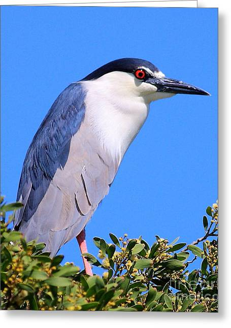 Black Crowned Night Heron Atop Tree Greeting Card by Wingsdomain Art and Photography