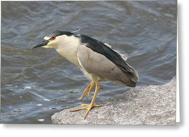 Greeting Card featuring the photograph Black-crowned Night Heron by Doris Potter