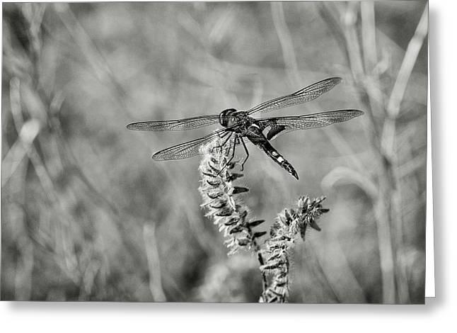 Black Dragonfly Bw Greeting Card