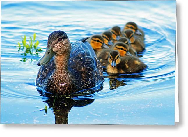 Black Duck Brood Greeting Card