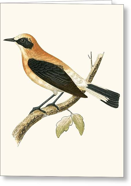 Black Eared Wheatear Greeting Card