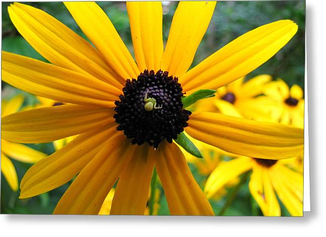 Black-eyed Susan And A Traveler Greeting Card by Lori Miller