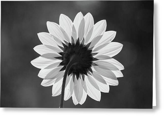 Black-eyed Susan - Black And White Greeting Card