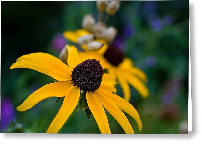 Greeting Card featuring the photograph Black Eyed Susan Daisy by Gary Smith