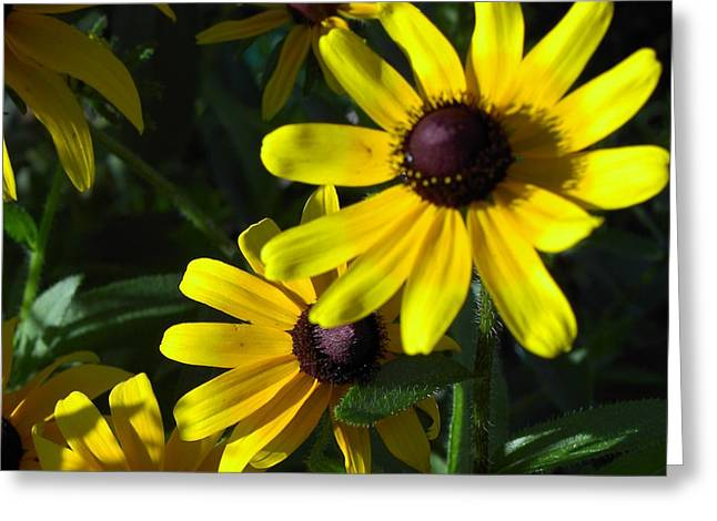 Black Eyed Susan Greeting Card by Mary-Lee Sanders