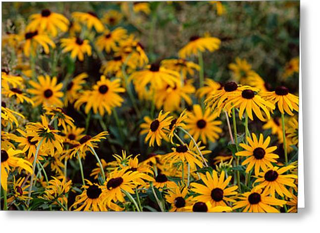 Black-eyed Susan Rudbeckia Hirta Greeting Card by Panoramic Images