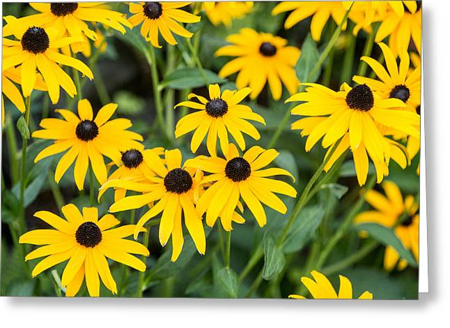 Black-eyed Susan Up Close Greeting Card