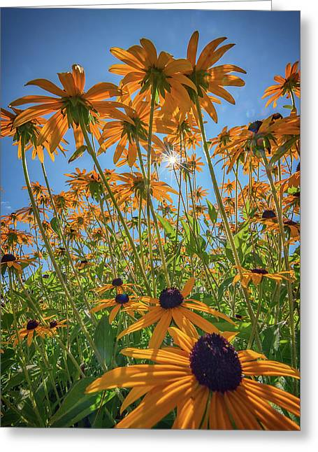 Black-eyed-susans Bask In The Sun Greeting Card