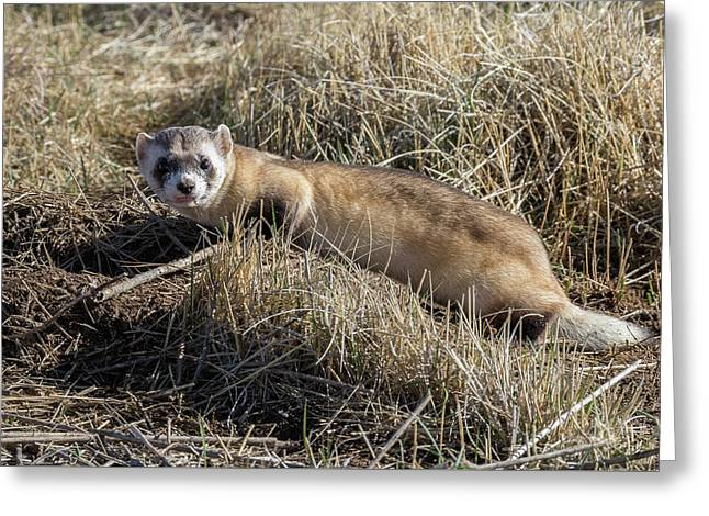 Black-footed Ferret On The Prowl Greeting Card