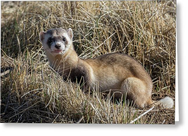 Black-footed Ferret Poses Greeting Card