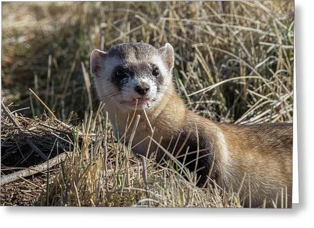Black-footed Ferret Up Close Greeting Card
