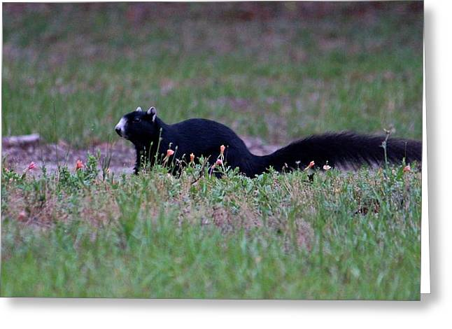 Black Fox Squirrel Greeting Card by Cynthia Guinn
