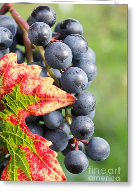 Black Grapes On The Vine Greeting Card