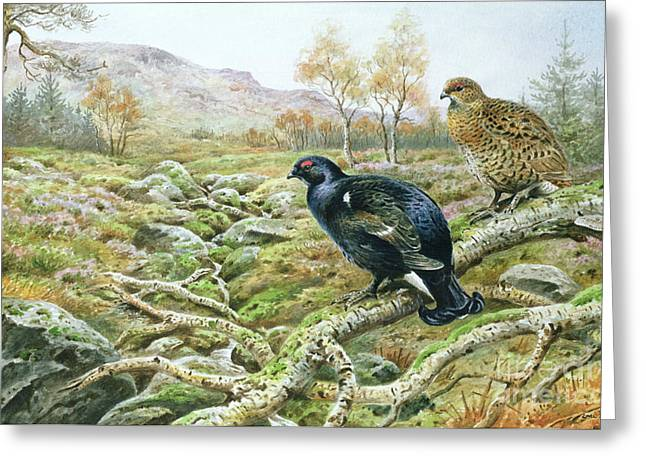 Black Grouse On A Moor Greeting Card by Carl Donner
