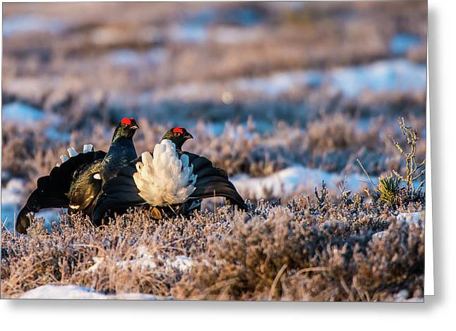 Black Grouses Greeting Card by Torbjorn Swenelius