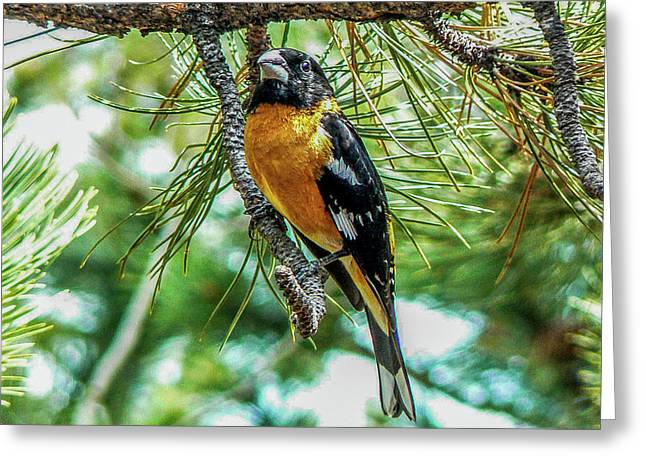 Black-headed Grosbeak On Pine Tree Greeting Card