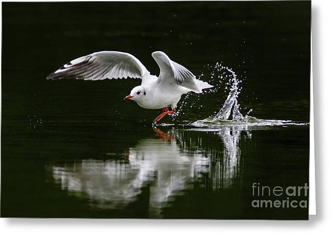Black-headed Gull Chroicocephalus Ridibundus In Winter Plumage Greeting Card