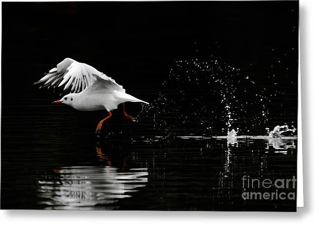 Black-headed Gull - Low Key Greeting Card