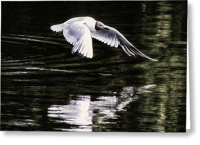 Black Headed Gull Greeting Card by Martin Newman