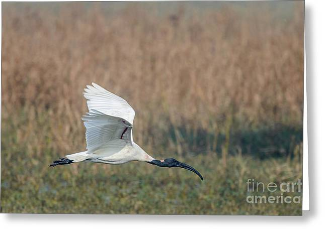 Black-headed Ibis 01 Greeting Card