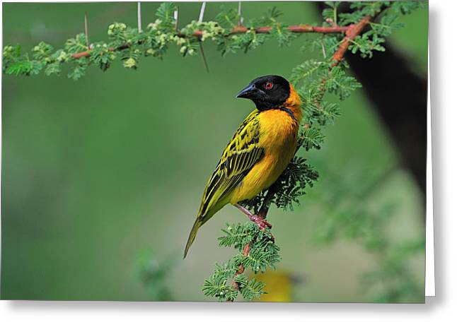 Black-headed Weaver Greeting Card by Tony Beck