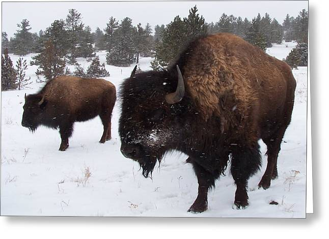 Black Hills Bison Greeting Card