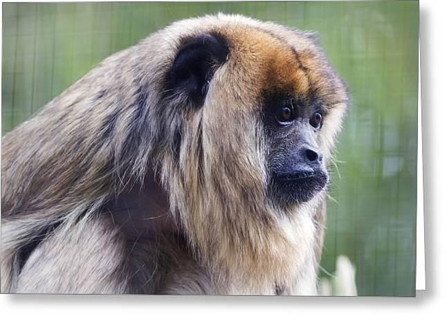 Black Howler Monkey Teeth