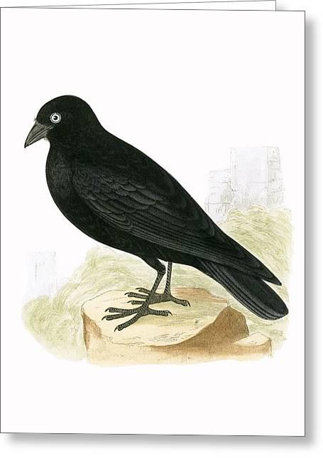 Black Jackdaw Greeting Card