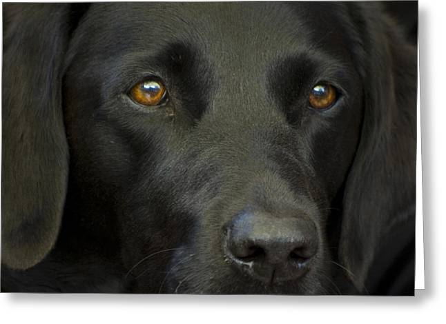 Black Labrador Dog Greeting Card by Pixie Copley