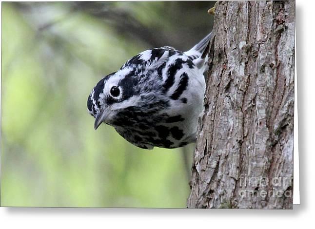 Black-n-white Warbler Greeting Card