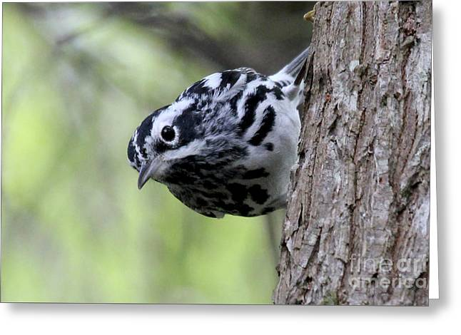 Black-n-white Warbler Greeting Card