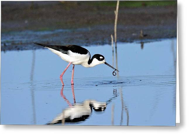 Black Neck Stilt Greeting Card by John Adams