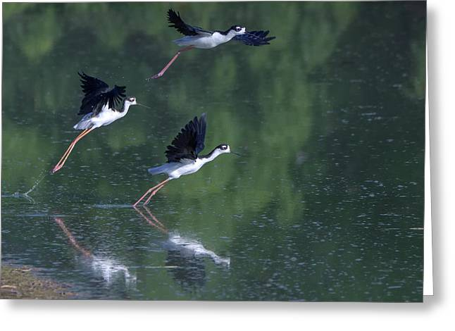 Black-necked Stilts 4302-080917-2cr Greeting Card