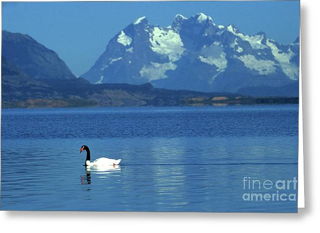 Black Necked Swan On Last Hope Sound Chile Greeting Card by James Brunker