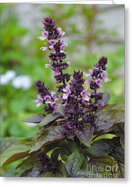 Black Opal Basil Flower Greeting Card