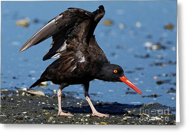 Black Oyster Catcher Greeting Card
