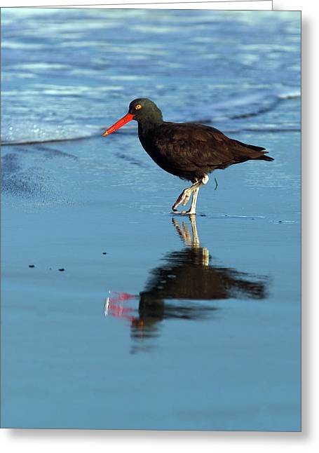 Black Oystercatcher Greeting Card by Randall Ingalls