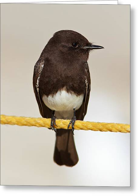 Black Phoebe Greeting Card