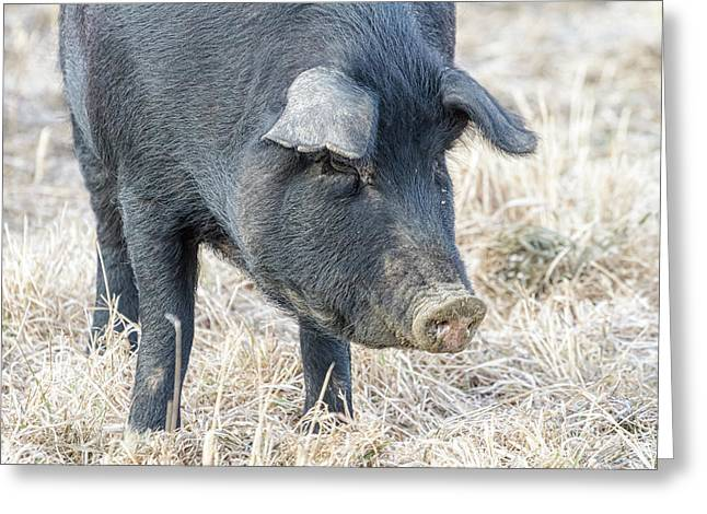 Greeting Card featuring the photograph Black Pig Close-up by James BO Insogna